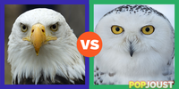 Which is the better bird of prey