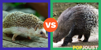 Which is the better spiky animal